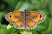Gatekeeper butterfly (Pyronia tithonus) male